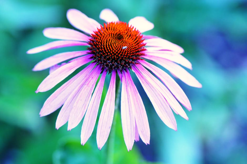 Cold Remedies - Echinacea