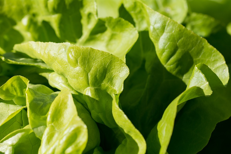 7 Types Of Vegetables You Can Grow At Home - Lettuce